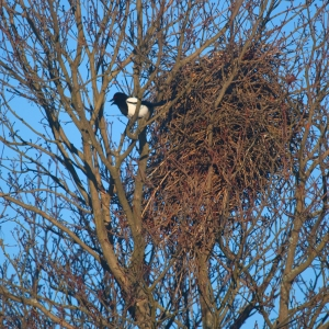 European_magpie_in_a_tree