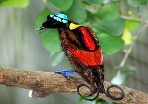 En paradisfugl. Kilde: Wikimedia Commons/Serhanoksay